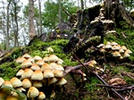 Sulphur Tuft (Hypholoma fasciculare)